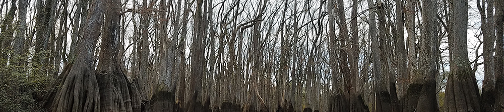 Cypress and Tupelo Trees